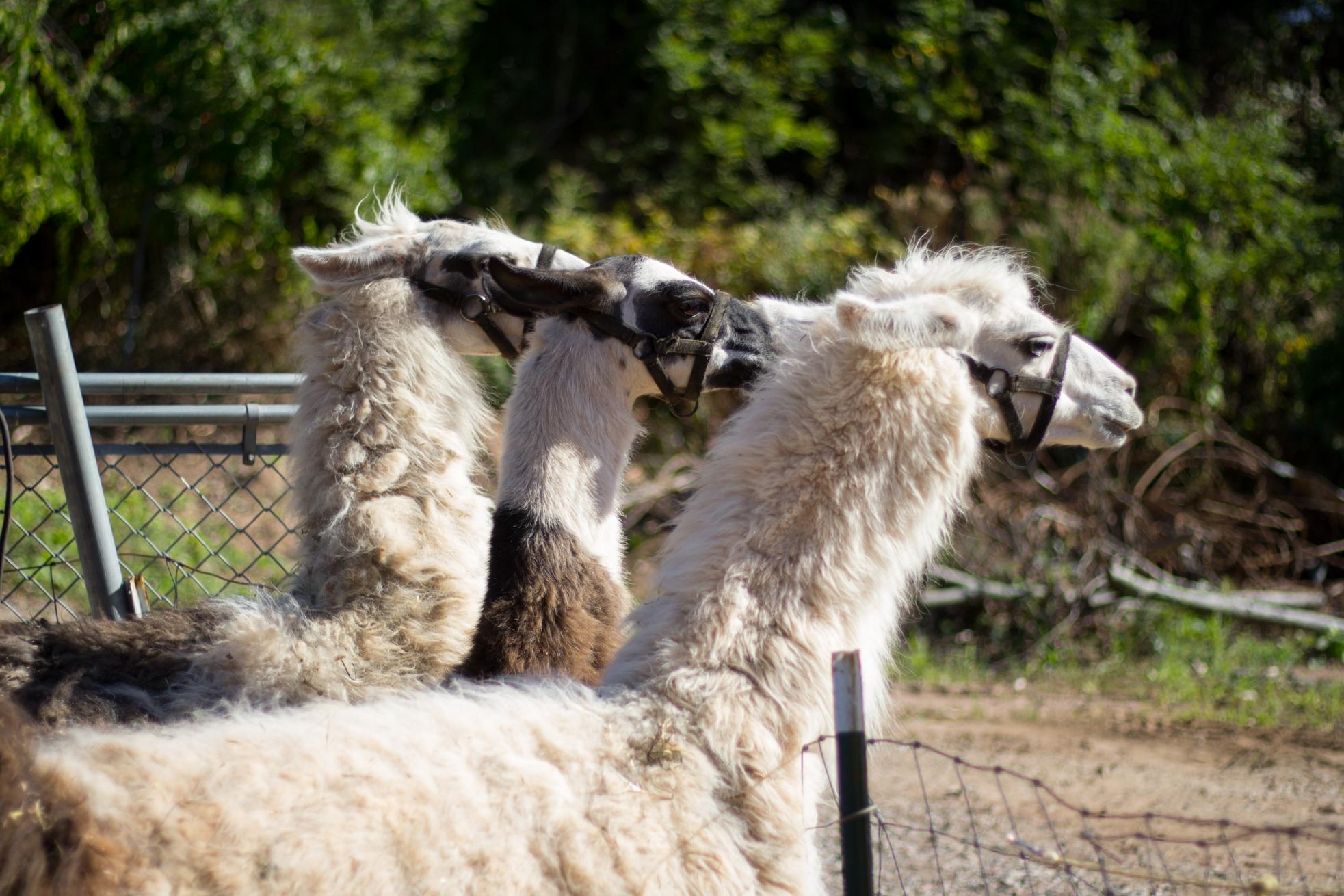 llamas eating