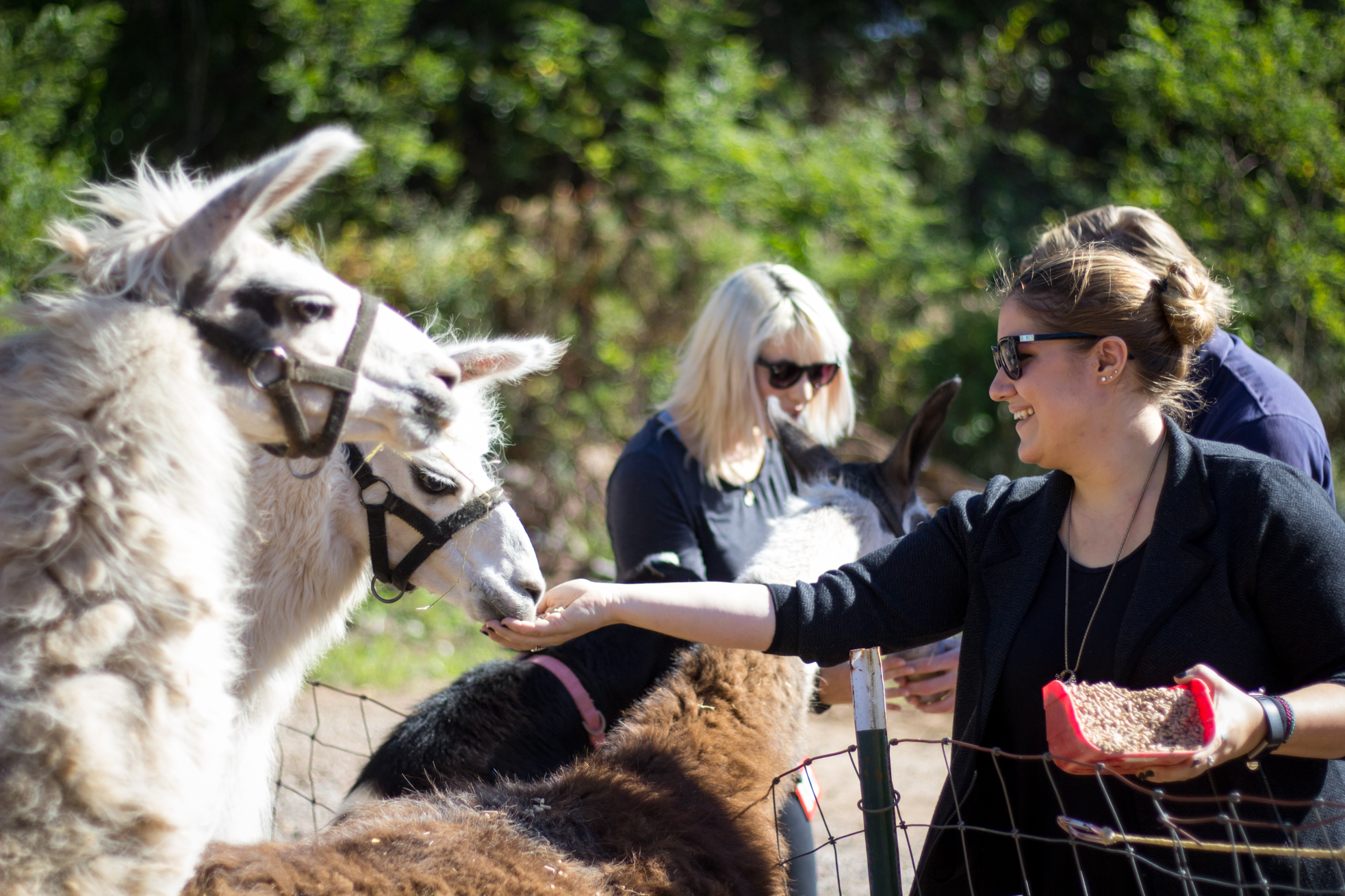 feeding llamas